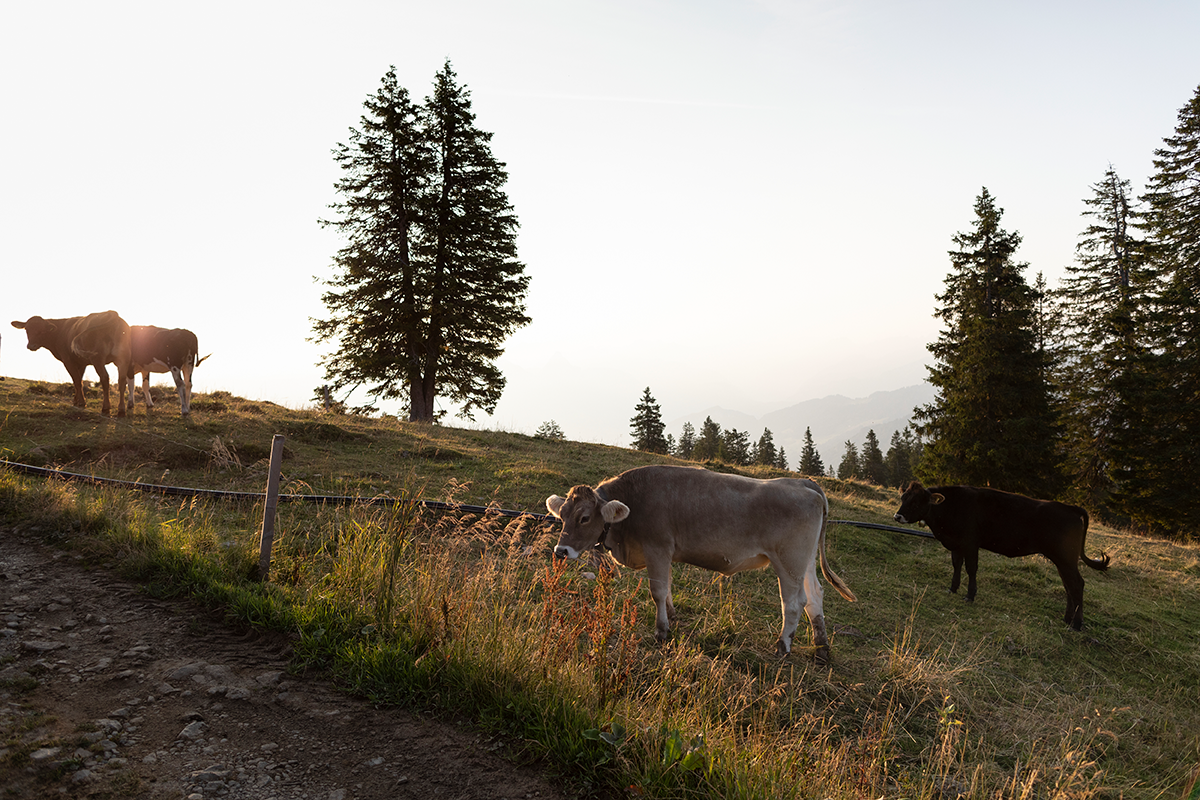 Kühe auf der Alp