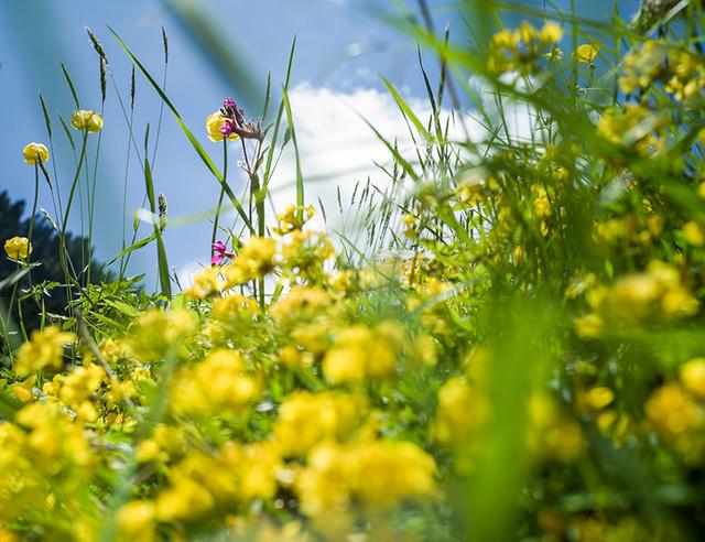 Blumenwiese auf der Rigi